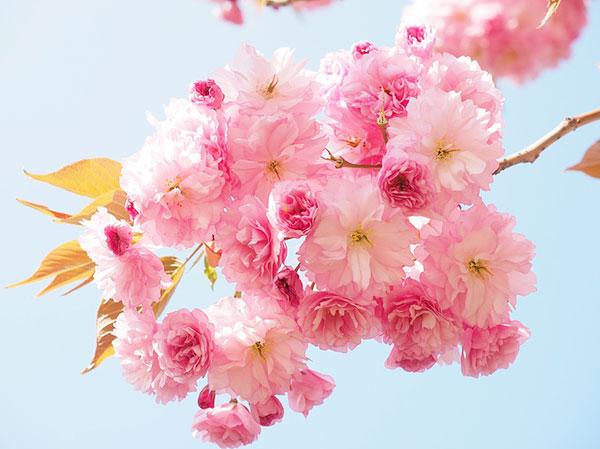 Hoa anh đào – Sự sống, cái chết và sự tái sinh