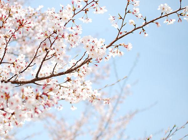 Kinh ngạc với những cây anh đào lâu đời nhất Nhật Bản (kỳ 2)