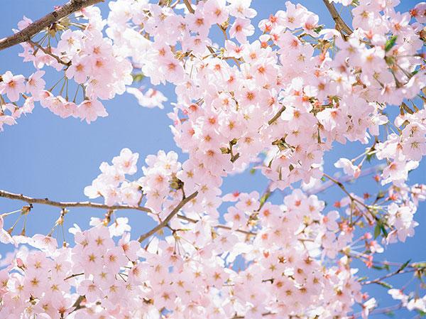 Kinh ngạc với những cây anh đào lâu đời nhất Nhật Bản (kỳ 1)