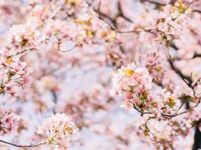 Kinh ngạc với những cây anh đào lâu đời nhất Nhật Bản (kỳ cuối)